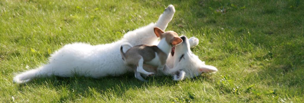 Kato - En Hvid Schweizisk Schæferhund